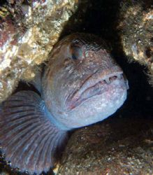 Wolf fish at Black Carr rocks, St Abbs, 19 June 2006. by Andy Colls 